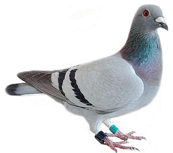 Pigeon Control - On the Fly
