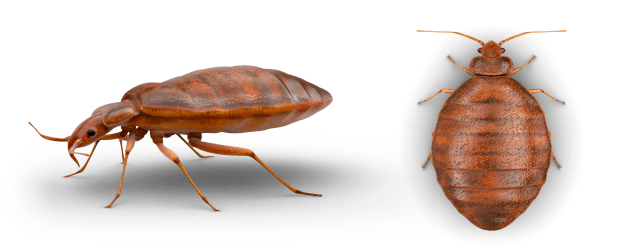 Bed Bugs On the Fly Pest Control